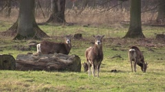 Moufflon in a zoo in Germany Stock Footage
