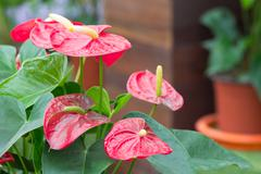 anthurium - stock photo