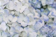 Blue hydrangea Stock Photos