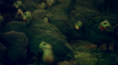Stock Video Footage of guinea fowl