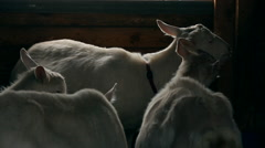 Goats in the farm Stock Footage