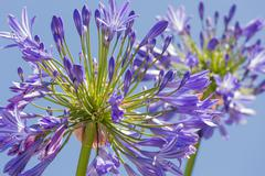 Macro view of purple agapanthus against a blue sky Stock Photos