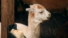 Baby alpaca Lama Stock Footage