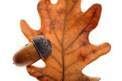 Acorn leaf and fruit Stock Photos