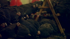 guinea fowl in hen house - stock footage