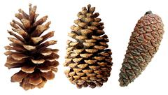 Two pine cones - stock photo