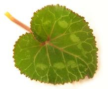 Cyclamen leaf, heart-shaped, white background Stock Photos