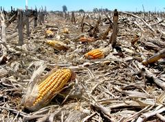 Corn waste Stock Photos