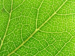 Green leaf veins 04 - stock photo