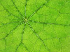 Green leaf veins 03 Stock Photos