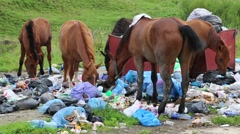 Stock Video Footage of Horses eating household refuse at the dump