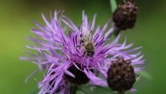 Worker bee on a purple flower Stock Footage
