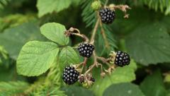 Ripe blackberries in the forest Stock Footage