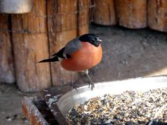 Bullfinch at the feeding trough - stock photo