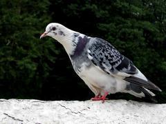 Motley white pigeon - stock photo