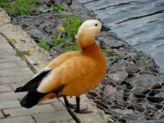 Orange duck near water Stock Photos