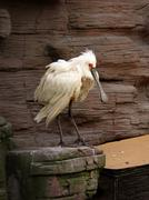 White bird with large beak - stock photo