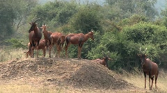 A group of Antelopes(Topi) in the Akagera national park. Stock Footage