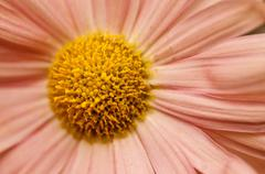 Helichrysum Paper daisy - stock photo