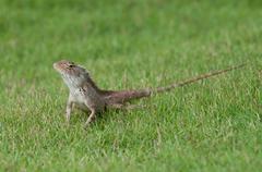 Garden Lizard - stock photo