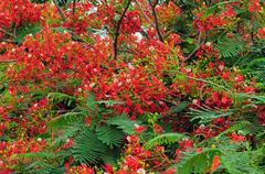 Gulmohar Flowers - stock photo