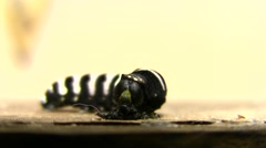 Indra Swallowtail Butterfly Caterpillar Molting Eating Skin V05080 Stock Footage
