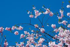 Cherry Blossom Tree - stock photo