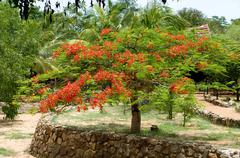 Beautiful gulmohar flower on a bright sunny day Stock Photos