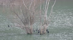 Cormorants punished. Stock Footage