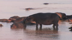 Hippos in the South Luangwa National Park Stock Footage