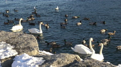 Waterbirds of Lake Ontario/ 4k Wildlife footage - stock footage
