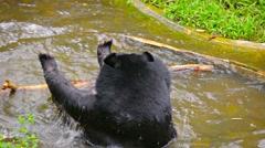 Asian Black Bear Playing in the Water at Chiang Mai Zoo in Thailand Stock Footage