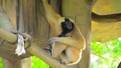 Endangered Lar Gibbon in Tree House Habitat at Chiang Mai Zoo Stock Footage