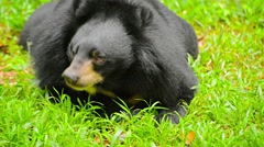 Asian Black Bear Relaxing at Chiang Mai Zoo in Thailand Stock Footage