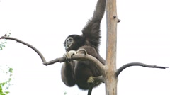 Solitary Siamang Gibbon at Chiang Mai Zoo in Thailand Stock Footage