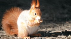 Red Squirrel Eating Sunflower Seed Closeup Stock Footage