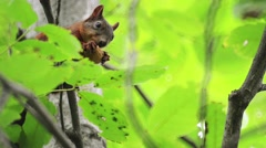 Red squirrel eating walnut on the tree Stock Footage
