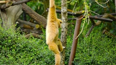 Gibbon Hanging from Tree Branch at Chiang Mai Zoo, Thailand Stock Footage