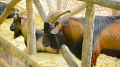 Goat lazily chewing his cud at Chiang Mai Zoo in Thailand Stock Footage