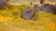 Mother doe watches over her baby at Chiang Mai Zoo in Thailand Stock Footage