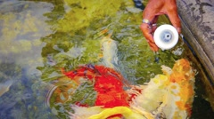 Koi Fish Feeding in Chiang Rai, Thailand Stock Footage