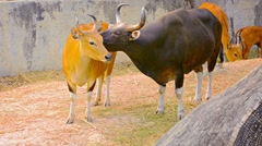 Banteng Wild Cattle Standing Side by Side at Chiang Mai Zoo in Thailand Stock Footage