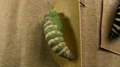 Indra Swallowtail Butterfly Pupation Settling In V05110 - stock footage