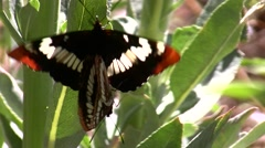 Lorquins admiral butterfly mating pair on plant V05187 - stock footage