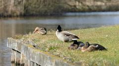 Wild ducks enjoying the sun - stock footage