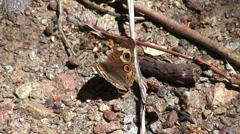 Buckeye butterfly resting on ground Stock Footage