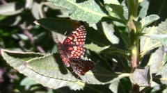 Gabb's Checkerspot (Chlosyne gabbii) butterfly mating pair in wild Stock Footage