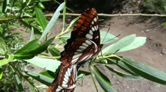 Lorquins admiral butterfly mating pair on plant closeup V05224 Stock Footage