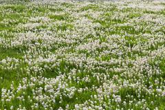 Meadow with White Flowers - stock photo