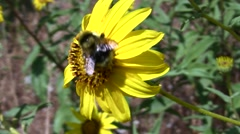 Bumble bee on yellow flower very closeup V05539 Stock Footage